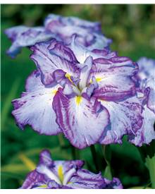2 Iris du Japon Harlequinesque
