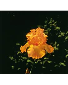 Coll. 6 iris de jardin remontants (2 Autumn encore,2 Maid orange,2 Lovely again)