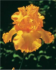 3 Iris de jardin remontants Maid of Orange